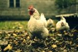 Avoir un poulailler dans son jardin : avantages et inconvénients