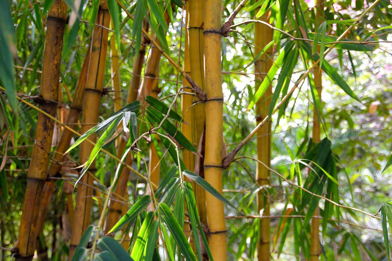 Comment bien planter du bambou